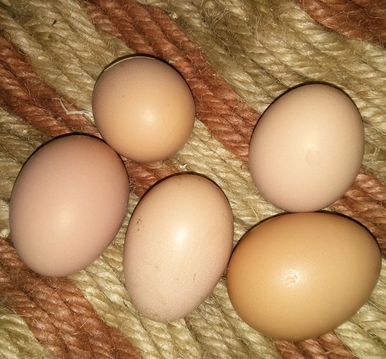 Five of our seven hens are now laying.  Huzzah!
