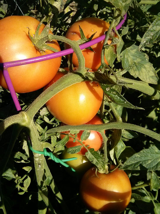 Tomato season at Thrasher Studios Micro Farm.