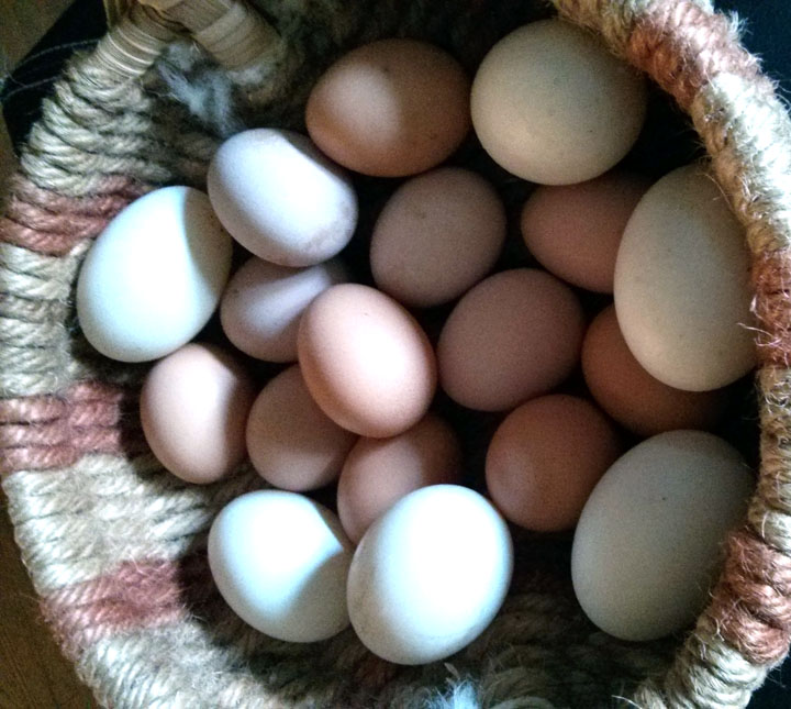 Not to be forgotten, the brace and the flock are still busy producing yummy eggs.