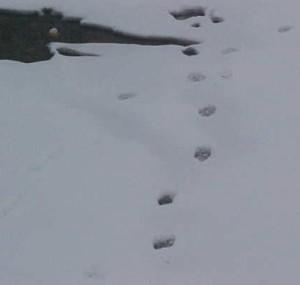 snowy_pawprints