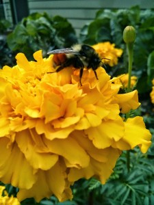 "This is a bumble bee, supposedly a Bombus melanopygus, which is native to this region. We are in the northern area of its range, which means you'll find the bottom portion that lovely burnt sienna color as opposed to its southern relative the ""black-tailed bumble bee."" These are good pollinators. Let them stay in the garden."