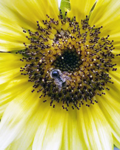 It's kind of hard to see this guy, but he's a Mason Bee, of which we just set out on our property this past weekend. They are hardy early pollinators, and I'm kind of curious as to why this guy was still around near the first part of July; but, he was. Mason bees pollinate all the early crops, like orchards, sweet peas, and the like. Then they are gone until next year. Very docile. Great pollinators because they will go to every flower on a plant or tree.