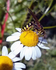This is a typical Yellow Jacket wasp. This is a character that a friend of mine was convinced was a bee and when she found a nest of them wanted the exterminator to just move them and not eradicate them. I kindly explained to her that these guys are just jerks (okay, I was more colorful than that), and you want them out, out, out of your garden. They are parasitic and can become highly aggressive. Some gardeners don't mind them, because one wasp will liquefy two pounds of caterpillars, flies, and other insects in one day. Problem is they aren't picky and they can eat your beneficial ones, too. I won't shoo one out of my garden (remember they are aggressive), but I won't tolerate nests on my property. Unlike honeybees, wasps may sting over and over again. Like I said, it's the jerk of the garden.