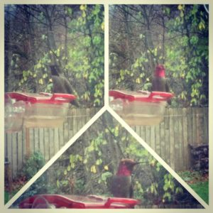 The winter hummingbirds have arrived. This collage is just one hummingbird. Depending on which way you view him, this is what you get.